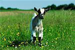 Baby Goat in Field    Stock Photo - Premium Royalty-Free, Artist: Martin Ruegner, Code: 600-00824533
