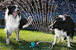 Dogs Playing in Sprinkler    Stock Photo - Premium Rights-Managed, Artist: Gary Gerovac, Code: 700-00846499