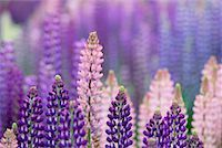 Lupin in Meadow South Island, New Zealand    Stock Photo - Premium Royalty-Freenull, Code: 600-00848227