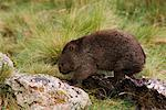 Wombat, Cradle Mountain-Lake St Clair National Park, Australia    Stock Photo - Premium Royalty-Free, Artist: Jochen Schlenker, Code: 600-00865387