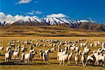 Sheep and Hawkdun Range, Ranfurly, South Island, New Zealand    Stock Photo - Premium Rights-Managed, Artist: Jochen Schlenker, Code: 700-00917896