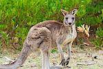 Eastern Grey Kangaroo, Wilsons Promontory National Park, Victoria, Australia