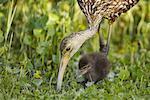 Mother Limpkin Feeding Chick    Stock Photo - Premium Rights-Managed, Artist: Greg Stott, Code: 700-00933503