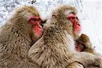 Japanese Macaques, Jigokudani Onsen, Nagano, Japan    Stock Photo - Premium Rights-Managed, Artist: Jeremy Woodhouse, Code: 700-00953000