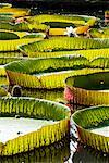Giant Amazon Water Lillies, Sir Seewoosagur Ramgoolam Botanical Gardens, Mauritius    Stock Photo - Premium Rights-Managed, Artist: R. Ian Lloyd, Code: 700-00955120
