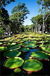 Giant Amazon Water Lillies, Sir Seewoosagur Ramgoolam Botanical Gardens, Mauritius    Stock Photo - Premium Rights-Managed, Artist: R. Ian Lloyd, Code: 700-00955121