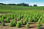 Christmas Tree Farm, Washington, USA    Stock Photo - Premium Rights-Managed, Artist: Bill Frymire, Code: 700-00982914