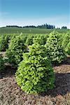 Christmas Tree Farm, Washington, USA    Stock Photo - Premium Rights-Managed, Artist: Bill Frymire, Code: 700-00982915