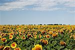 Sunflower Field, Manitoba, Canada    Stock Photo - Premium Rights-Managed, Artist: Alec Pytlowany, Code: 700-00983367