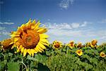 Sunflower Field, Manitoba, Canada    Stock Photo - Premium Rights-Managed, Artist: Alec Pytlowany, Code: 700-00983370
