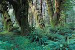 Quinault Rainforest, Olympic National Park, Washington, USA    Stock Photo - Premium Rights-Managed, Artist: F. Lukasseck, Code: 700-00983594