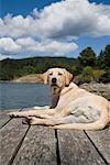 Dog Lying On Dock