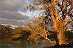 River Red Gum Tree, Darling River, Menindee, New South Wales, Australia    Stock Photo - Premium Rights-Managed, Artist: Jochen Schlenker, Code: 700-01014821