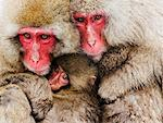 Portrait of Japanese Macaques