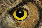 Great Horned Owl Eye    Stock Photo - Premium Rights-Managed, Artist: Bill Frymire, Code: 700-01030214