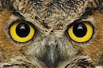Great Horned Owl Face