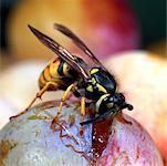 wasp Stock Photo - Premium Royalty-Free, Artist: Minden Pictures, Code: 618-01047463