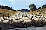 herd of sheep Stock Photo - Premium Royalty-Free, Artist: Minden Pictures, Code: 618-01057806