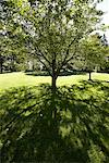 Tree in Yard    Stock Photo - Premium Rights-Managed, Artist: Jean-Yves Bruel, Code: 700-01072388