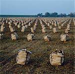 Sacks in field, Brouwershaven, Holland    Stock Photo - Premium Rights-Managed, Artist: Ben Seelt, Code: 700-01072706