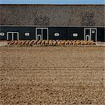 Field and Sacks in Rows by Barn, Kruinigen, Netherlands    Stock Photo - Premium Rights-Managed, Artist: Ben Seelt, Code: 700-01072727