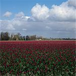 Tulip Field, Nieuwerkerk, Netherlands    Stock Photo - Premium Rights-Managed, Artist: Ben Seelt, Code: 700-01072729