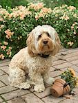 Dog Sitting Beside Broken Flower Pot    Stock Photo - Premium Rights-Managed, Artist: Nora Good, Code: 700-01109932