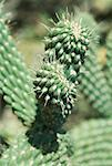 Cholla Cactus    Stock Photo - Premium Rights-Managed, Artist: Artiga Photo, Code: 700-01110662