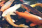 Koi Fish    Stock Photo - Premium Rights-Managed, Artist: Jeremy Maude, Code: 700-01111237