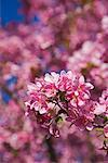 Close-up of Crab Apple Tree Blossoms    Stock Photo - Premium Royalty-Free, Artist: J. David Andrews, Code: 600-01112364