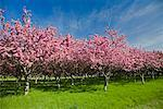 Crab Apple Trees Stock Photo - Premium Rights-Managed, Artist: J. David Andrews, Code: 700-01112358