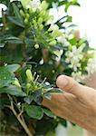 Hand touching jasmine plant Stock Photo - Premium Royalty-Free, Artist: Cusp and Flirt, Code: 632-01161393