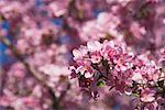 Flowering Crab Apple Tree    Stock Photo - Premium Royalty-Free, Artist: J. David Andrews, Code: 600-01163942