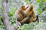Golden Monkeys, Zhouzhi National Nature Reserve, Shaanxi Province, China    Stock Photo - Premium Rights-Managed, Artist: Jeremy Woodhouse, Code: 700-01195633