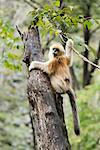 Golden Monkeys, Qinling Mountains, Shaanxi Province, China    Stock Photo - Premium Rights-Managed, Artist: Jeremy Woodhouse, Code: 700-01195659