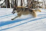 Timber Wolf Running in Snow