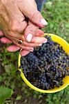 Picking Wine Grapes    Stock Photo - Premium Rights-Managed, Artist: Horst Herget, Code: 700-01223270