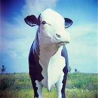 Still Life of Cow Statue    Stock Photo - Premium Rights-Managednull, Code: 700-01248009