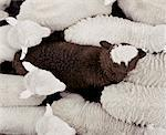 Black Lamb Surrounded by White Lambs    Stock Photo - Premium Rights-Managed, Artist: AMC, Code: 700-01248598