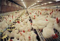 farming (raising livestock) - Chicken Barn    Stock Photo - Premium Rights-Managednull, Code: 700-01260113