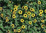 Rudbeckia Stock Photo - Premium Royalty-Freenull, Code: 633-01272336