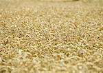 Field of wheat Stock Photo - Premium Royalty-Freenull, Code: 633-01273670