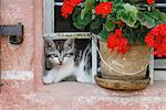 Kitten Looking Out Window    Stock Photo - Premium Royalty-Free, Artist: Martin Ruegner, Code: 600-01276054