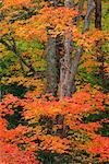 Maple Tree in Autumn, Algonquin Provincial Park, Ontario, Canada