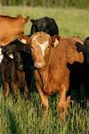 Cattle in Field, British Columbia, Canada    Stock Photo - Premium Rights-Managed, Artist: Alec Pytlowany, Code: 700-01296418
