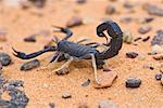 Black Scorpion, Akakus, Libya    Stock Photo - Premium Rights-Managed, Artist: F. Lukasseck, Code: 700-01345427