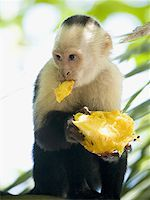 Close-up of a capuchin monkey eating a fruit (Cebus capucinus) Stock Photo - Premium Royalty-Freenull, Code: 640-01350696