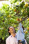 Man lifting son (2-4) to pick lemons from tree Stock Photo - Premium Royalty-Free, Artist: UpperCut Images, Code: 613-01388326