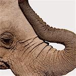 African elephant (Loxodonta africana), profile Stock Photo - Premium Royalty-Free, Artist: Raimund Linke, Code: 613-01398769