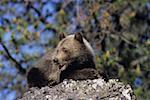 Grizzly bear (Ursus arctos) cub atop rocks Stock Photo - Premium Royalty-Free, Artist: David & Micha Sheldon, Code: 618-01409511